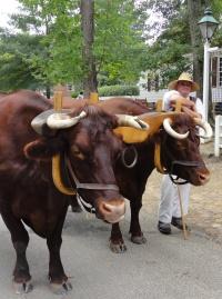 oxen CU